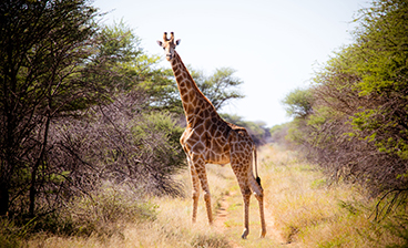 Thumb_Wildlife-Giraffen.jpg